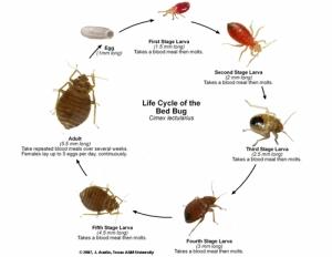 Bedbug_Life_Cycle